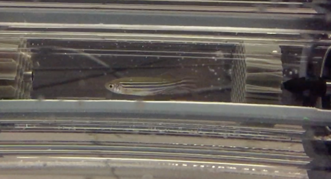 Zebrafish swimming